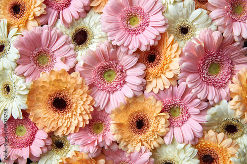 Natural floral background of white, pink, orange gerbera. Flower concept