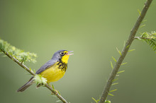A Beautiful Yellow And Black Male Canada Warbler Sings While Perched On A Branch With A Smooth Green Background.