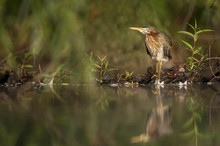 A Juvenile Green Heron Stands ...