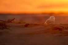 A Snowy Owl Sits On The Sandy ...