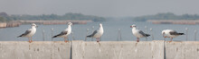 Seagull Stand And Looking On T...