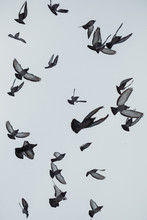 Photo Of Pigeons Birds Flying In The Sky
