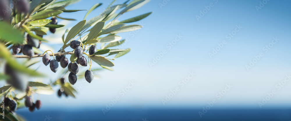 Fototapety, obrazy: Olives by the Sea Panorama