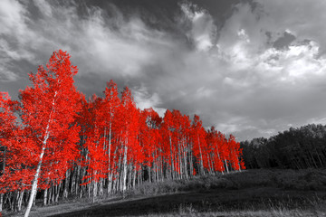 Fototapeta Las Red trees in surreal black and white landscape