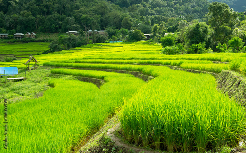 Green Rice Field Terraced in Chiangmai, Thailand