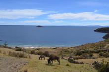 Two Donkeys At Titicaca Lake, ...