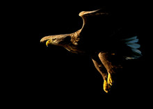 White Tailed Eagle In Flight Against Black Background