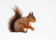Red Squirrel Sitting In The Snow Against White Background