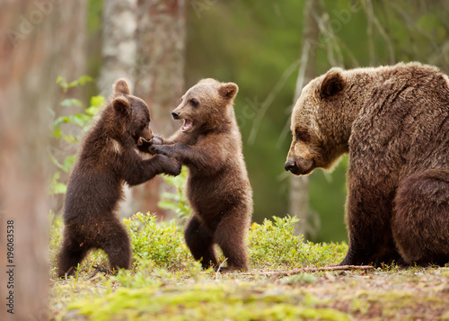 Photographie Eurasian brown bear female and her playful cubs
