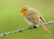 European robin perching on a wire against green background