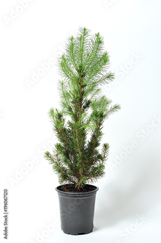 A Beautiful And Small Spruce In Pot