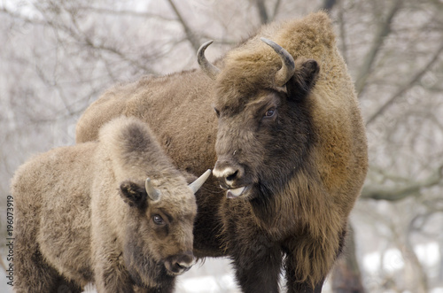 Spoed Foto op Canvas Bison European Bison, Bison bonasus, Visent, herbivore in winter, herd, Slovakia