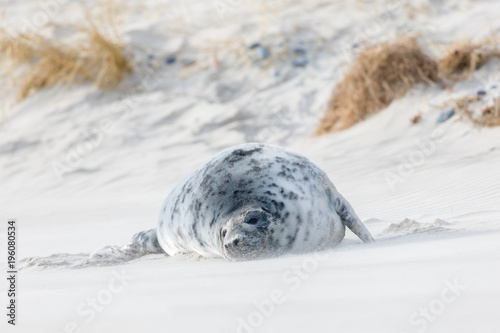 Young grey seal playing and sleeping on the sand beach