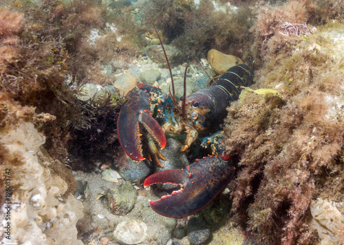 American Lobster Right Canvas-taulu