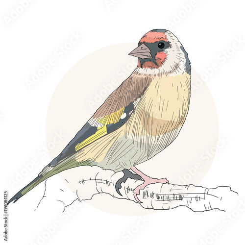 Cuadros en Lienzo Goldfinch bird color vector
