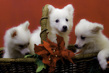 Three American Eskimo Puppies In A Basket With A Poinsettia And Christmas Background, Horizontal Orientation
