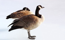Breeding Pair Of Canada Geese ...