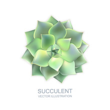 Vector Realistic Illustration Of Green Succulent Echeveria Isolated On White Background. Cactus Flower Top View.