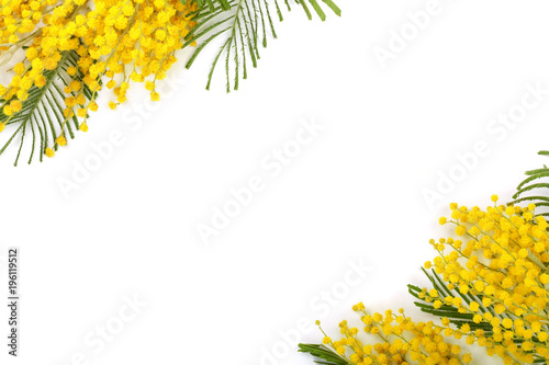 mimosa isolated on white background with copy space for your text. Top view