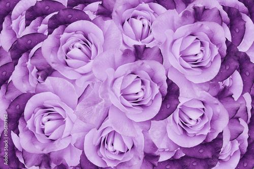 fioletowe-roze