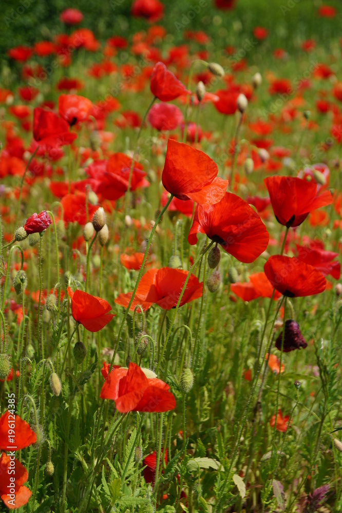red poppies on a meadow