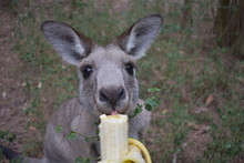 Kangaroo Eating Banana