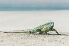 Green Iguana Walking On The Sa...