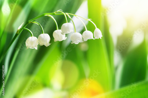 Beautiful blooming lily of the valley flowers in bright sunlight