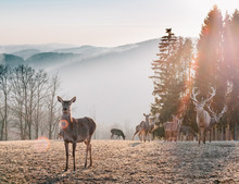 Red Deer In Morning Sun. Stunning Image Of Red Deer Herd In Foggy Autumn Colorful Forest Landscape Image