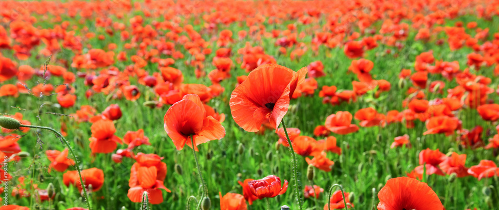Poppy flower field, harvesting.