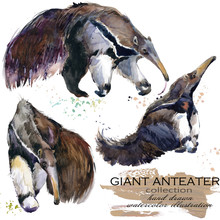 Giant Anteater Hand Drawn Wate...