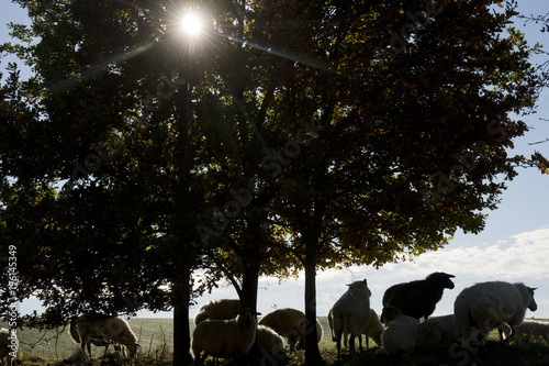 Canvas Prints Sheep schapen onder een boom
