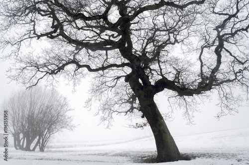 In de dag Bomen Big beautiful tree against foggy background after snow shower - winter scenery 1