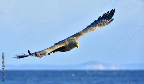 Poster Aigle White-tailed eagle in flight, fishing. Adult white-tailed eagle (Haliaeetus albicilla), also known as the ern, erne, gray eagle, Eurasian sea eagle and white-tailed sea-eagle