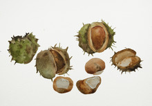 Watercolour Painting Of A Group Of Conkers With Cases From A Horse Chestnut Tree