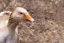 Goose In The Bird Yard (farm)....
