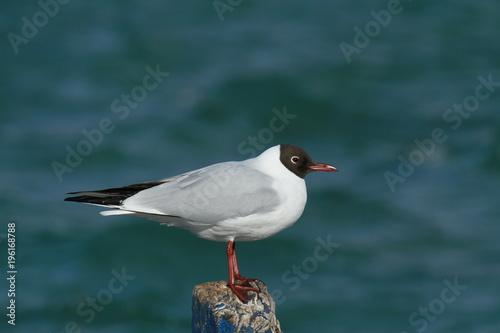 mouette rieuse en plumage nuptial