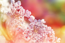 Close Up Of Wild Carrot Flower...