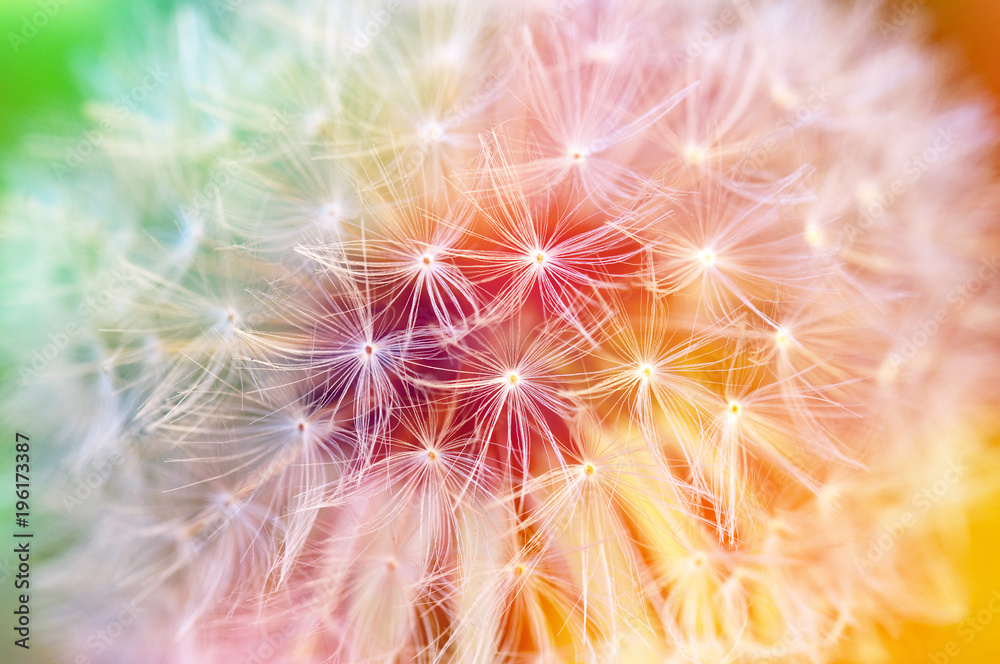 Fototapety, obrazy: Detail of dandelion seeds, colorful background