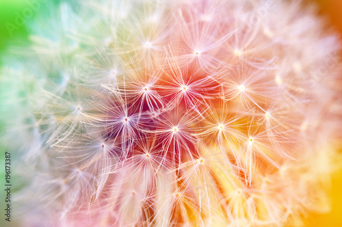 Poster Pissenlit Detail of dandelion seeds, colorful background