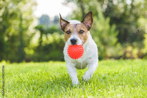 Jack Russell Terrier pet dog running with toy ball at backyard lawn © alexei_tm