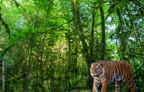 Poster Groene large tiger in landscape with green forest