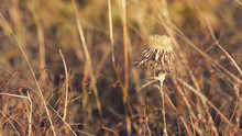 Withered Thistle Flower