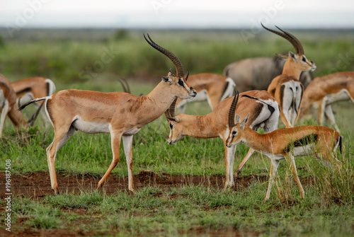 Foto op Canvas Antilope Grant's Gazelle - Nanger granti, small fast antelope from African savanna, Tsavo National Park, Kenya.