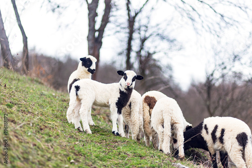 Deurstickers Ezel Animal,farming, nature and agriculture concept- Lambs in the field
