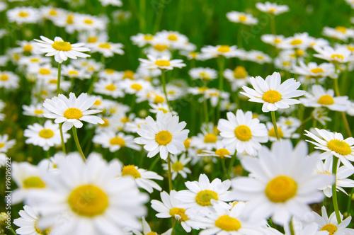 In de dag Madeliefjes White daisy on field