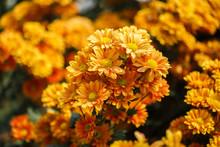 Beautiful Chrysanthemum Flower Blooming In Garden