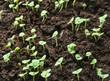 seedbed of vegetables