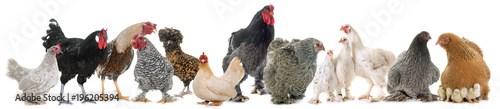 Keuken foto achterwand Kip group of chicken