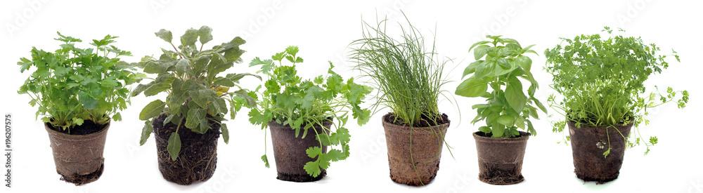 Fototapety, obrazy: aromatic plants in studio